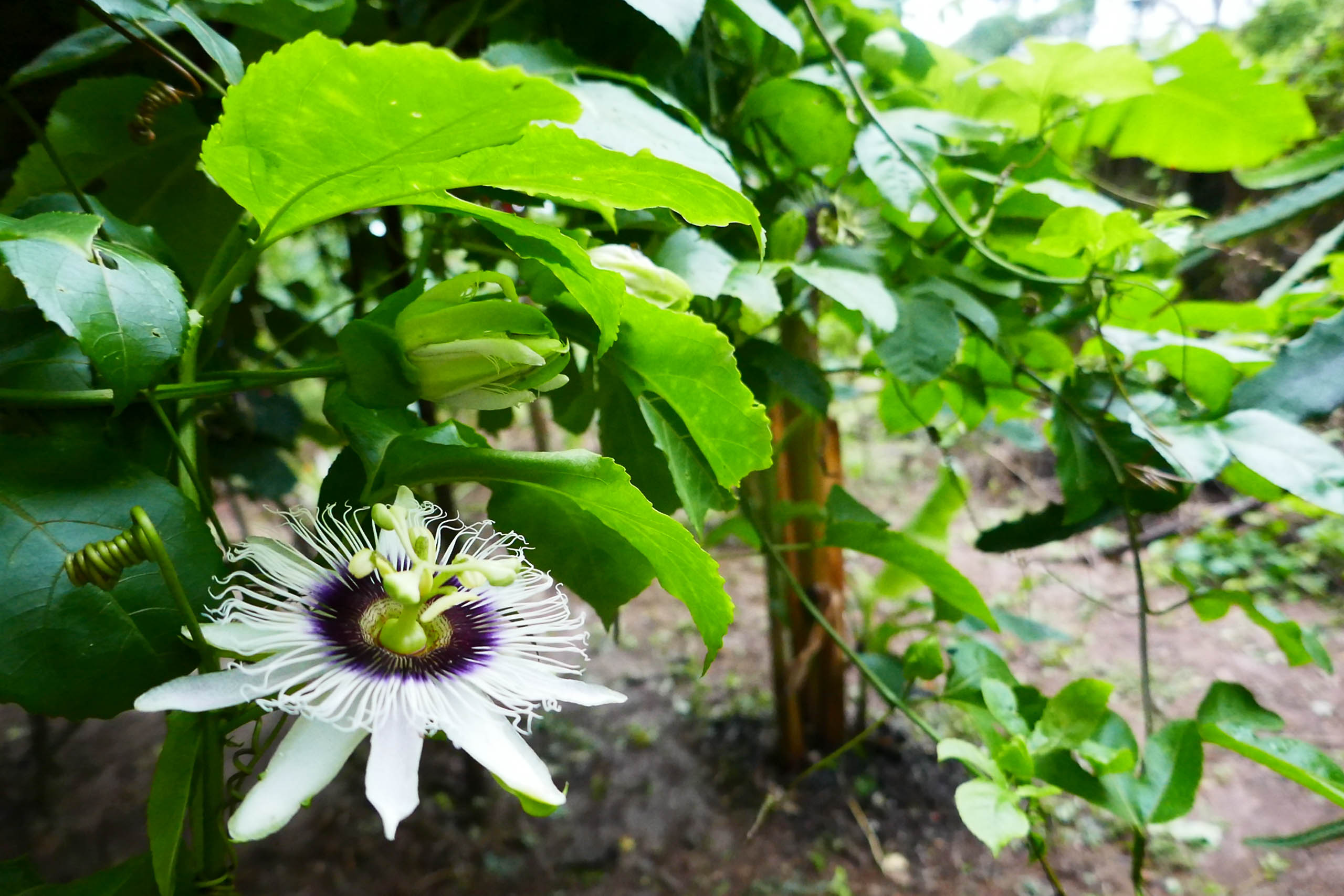 Casa Oro Group Open-Cafe-Oro-Farm-To-Table-Restaurant-Passion-Fruit-Flower-Regenerative-Organic-Farm-Fusion-Food-1 About