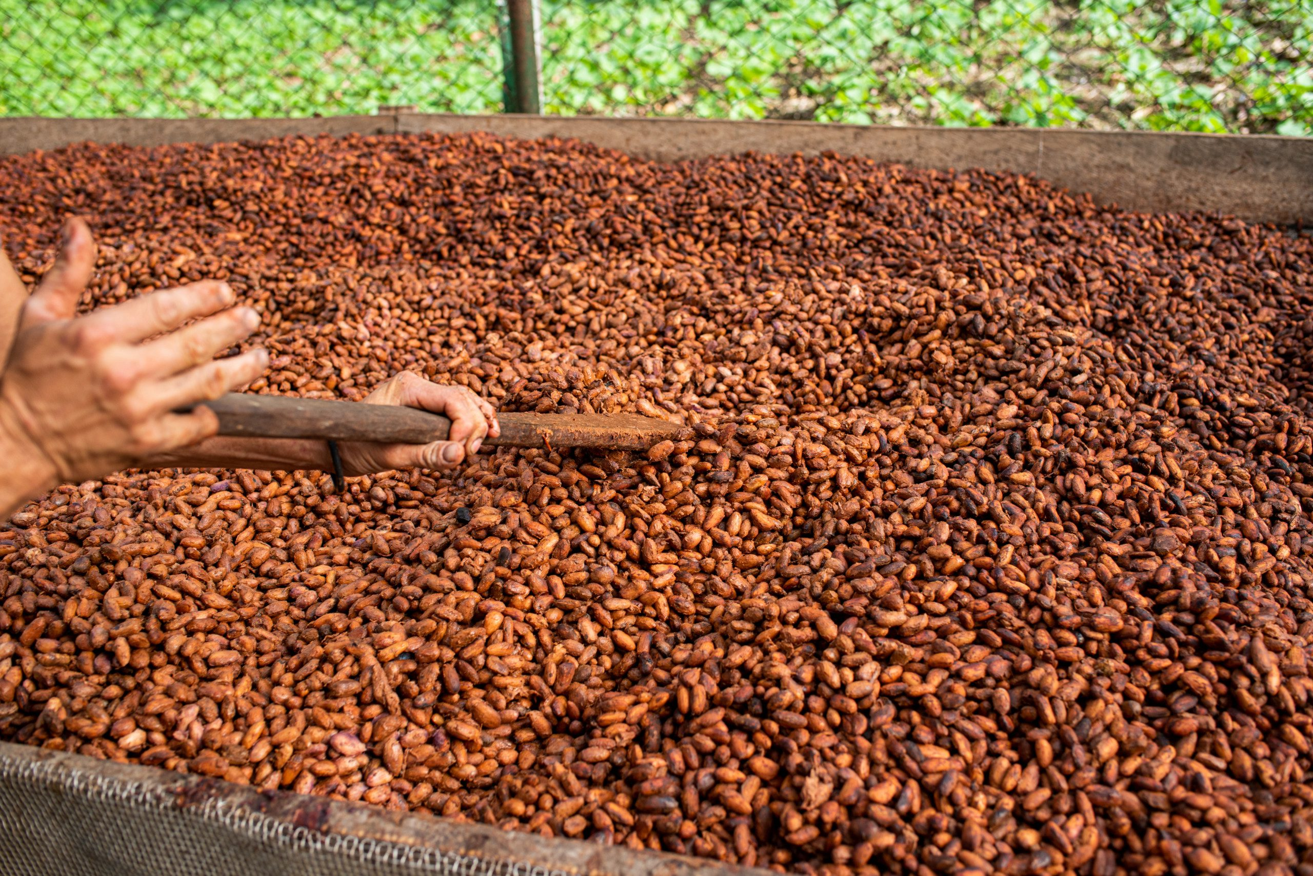 Oro Chocolate Process: Bean-to-Bar