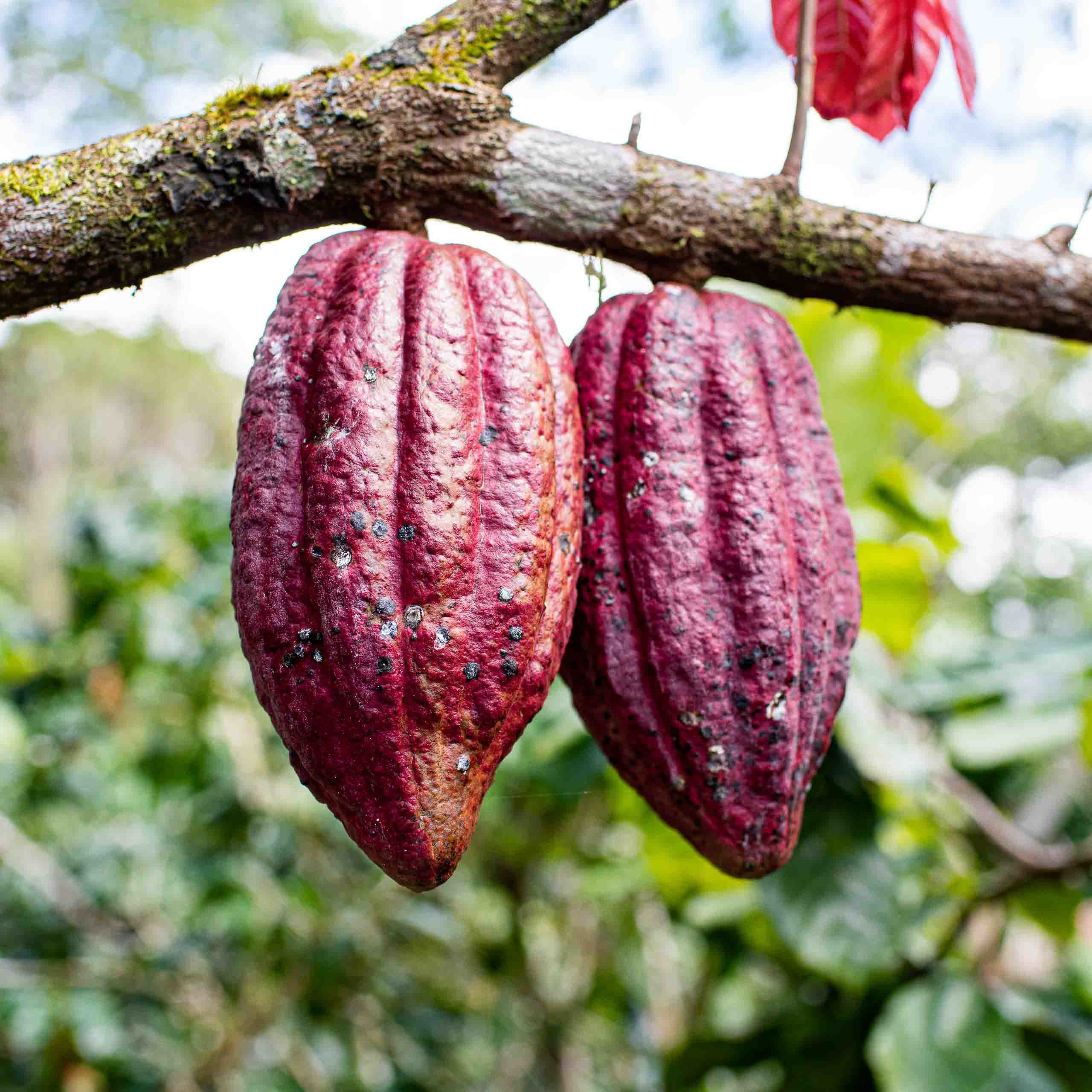 Oro Chocolate Cacao Reforestation